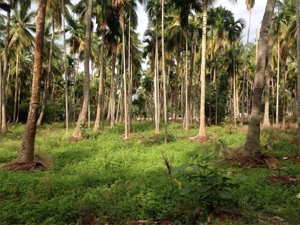 Palmunlehtilautaset valmistetaan arecapalmun luonnostaan putoavista lehdistä.